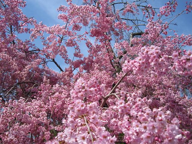 Hanami is in full swing at BBG with many trees in full bloom, including this Prunus subhirtella 'Pendula Rosea'. Photo by Rebecca Bullene.