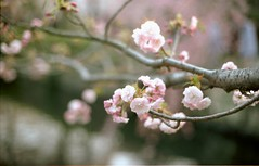 もう少し桜ネタ by Noël Café