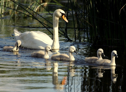 uk family light sunset sunlight reflection cute water river reeds droplets swan lowlight fluffy dorset ripples sunlit bournemouth cygnets stevemaskell stour throop 2011 naturethroughthelens swanvoy