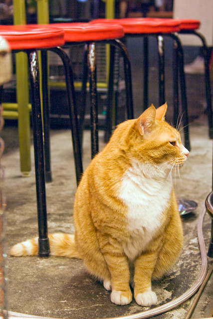 Cat at a bar that serves stringy-beef stew on Hoppi Street, Asakusa (torodeさん、ありがとうです)  デブ可愛い