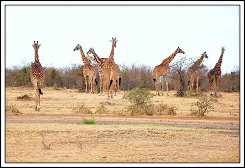 Majestic Masai Giraffe Herd in the Masai Mara.