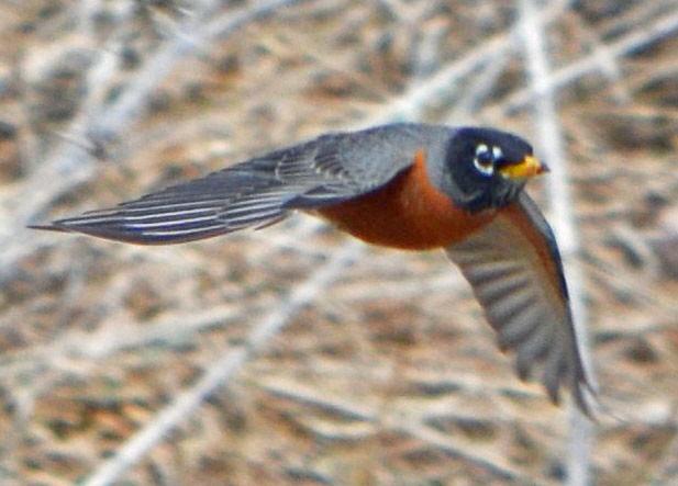 american robin bird flying - photo #6