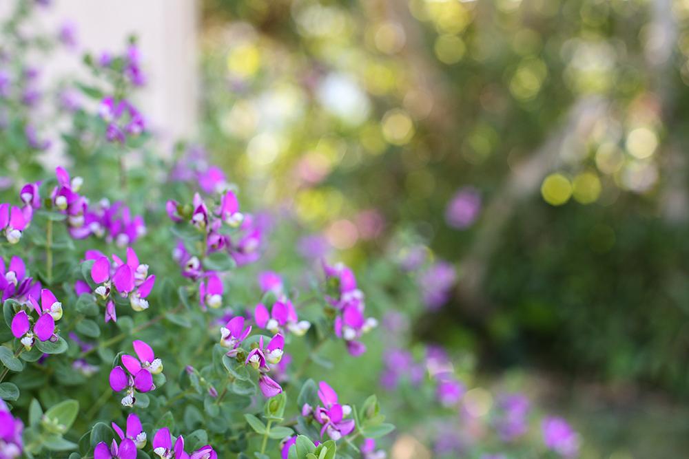 purpleblooms_2_web