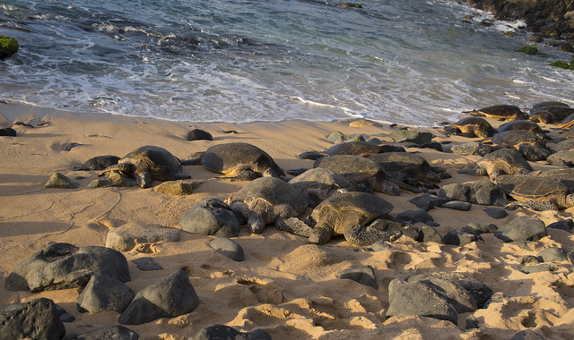 Hawaii MAUI | Hookipa Beach Park | Resting Turtles_14DEC2016.v2