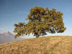 Chêne de Pressembois, Venon