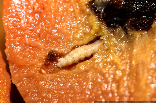 maggots! the secret to high protein quince jam