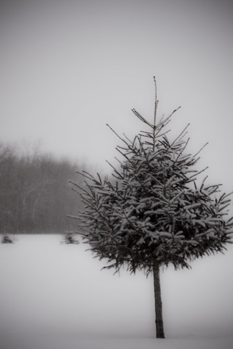 christmas trees winter white snow cold yard landscape walk hike pines snowing 2009