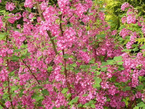 Landscaping Shrubs With Pink Flowers : Top spring garden shrubs gardeners tips