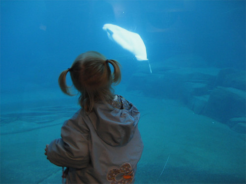 Hannah eyes the beluga Vancouver aquarium what to do in Vancouver