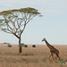 Giraffe and Acacia Tree - Serengeti, Tanzania