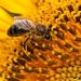 Bee sucking on a sunflower / Abeja Libando en un Girasol by @fran