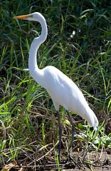 animal, nature, fauna, little blue heron, natural environment, great egret, heron, beak, bird, wildlife,