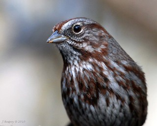 Up Close & Personal - Song Sparrow