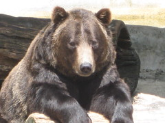 animal(1.0), american black bear(1.0), mammal(1.0), grizzly bear(1.0), fauna(1.0), brown bear(1.0), bear(1.0),