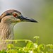 Black-crowned Night Heron (Nycticorax nycticorax) by alabang