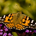Painted Lady - Photo (c) Anne, all rights reserved