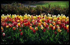 Tulips at Lake Shawnee, Topeka, KS