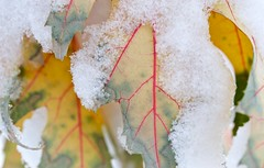 Photograph: Snowy leaves