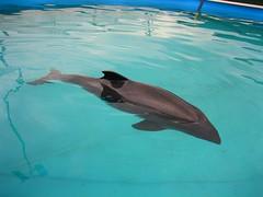 common bottlenose dolphin(0.0), short-beaked common dolphin(0.0), killer whale(0.0), spinner dolphin(0.0), animal(1.0), marine mammal(1.0), marine biology(1.0), dolphin(1.0),