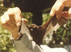 Brazilian Free-tailed Bat (Tadarida brasiliensis brasiliensis) MURCIÉLAGO MOLOSO COMÚN ~ Original = (1082 x 785)