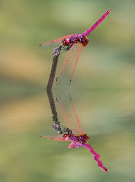 crimson dropwing reflection