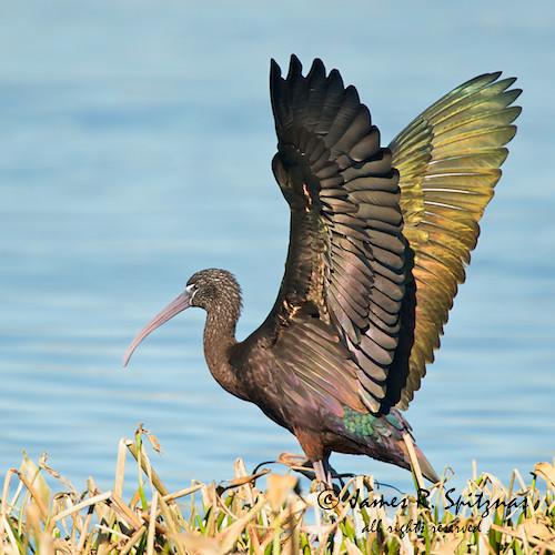 usa bird ibis fl glossyibis viera ciconiiformes plegadisfalcinellus threskiornithidae bej vierawetlands platinumphoto avianexcellence aulux goldfeatherphoto