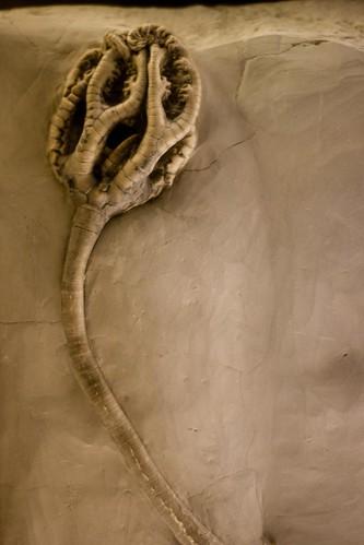 Onychocrinus exsculptus