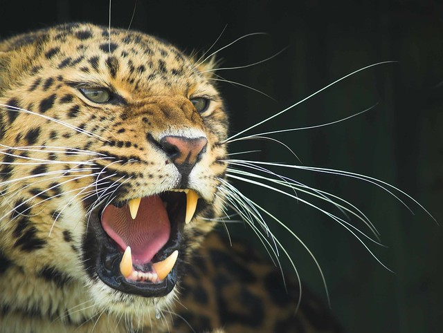 leopard roar_EPV0173 | Flickr - Photo Sharing!