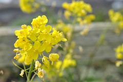 blossom(0.0), shrub(0.0), vegetable(0.0), food(0.0), canola(1.0), flower(1.0), yellow(1.0), mustard plant(1.0), brassica rapa(1.0), common rue(1.0), plant(1.0), mustard(1.0), macro photography(1.0), subshrub(1.0), herb(1.0), wildflower(1.0), flora(1.0), rue(1.0), verbascum(1.0), crop(1.0), rapeseed(1.0),