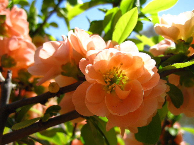 Flowering quince, or Chaenomeles japonica blooms in the Japanese Hill-and-Pond Garden. Photo by Rebecca Bullene.