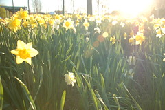 Daffodils in the afternoon sunlight at North Point Park