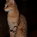 Savannah Cat Shoppe  www.savannahcatshoppe.com