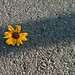 Decapitated flower on pavement by Livia