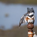 That Pesky Itch, Belted Kingfisher