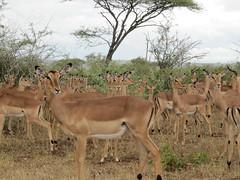 animal, antelope, springbok, mammal, herd, fauna, white-tailed deer, impala, savanna, safari, wildlife,