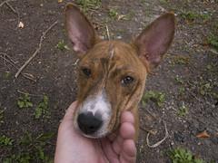 dog sports(0.0), animal sports(0.0), dog breed(1.0), animal(1.0), hound(1.0), dog(1.0), sighthound(1.0), pet(1.0), podenco canario(1.0), ibizan hound(1.0), carnivoran(1.0), basenji(1.0), terrier(1.0),