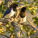 Curl-crested Jay - Photo (c) Alberto Rossettini, some rights reserved (CC BY-NC)