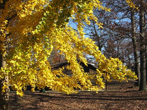 fallfoliage ginkgo ginkobiloba park pa martinsburgpa blaircountypennsylvania