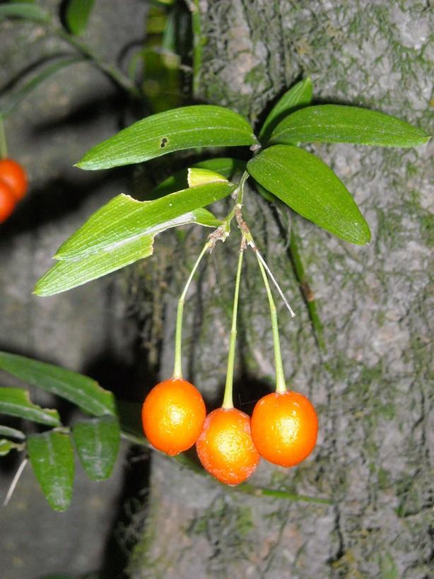 Quilineja (Luzuriaga radicans) - frutos