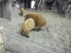 The red river hogs with their big ears and white stripe