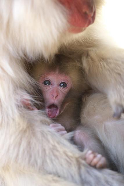 Baby Torako