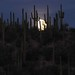 Setting full moon over Saguaros, Arizona