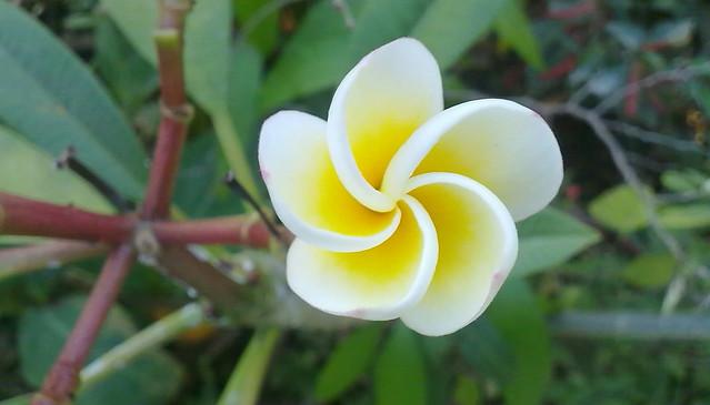 Photo: Frangipanier, Fleur des temples
