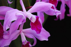 Laelia Lucy Ingram Lip