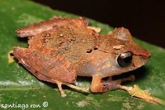 Kichwa robber frog