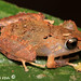 Pristimantis kichwarum - Photo (c) Santiago Ron, some rights reserved (CC BY-NC)