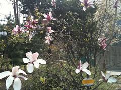 flower, garden, magnolia, plant, flora, spring,