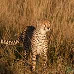 Cheetah on Alert - Serengeti, Tanzania