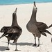 Black-footed albatross practicing their courting at Midway Atoll. Photo credit: Eric VanderWerf by USFWS Pacific