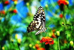 Butterfly on flower-6A
